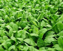 特色蔬菜制种